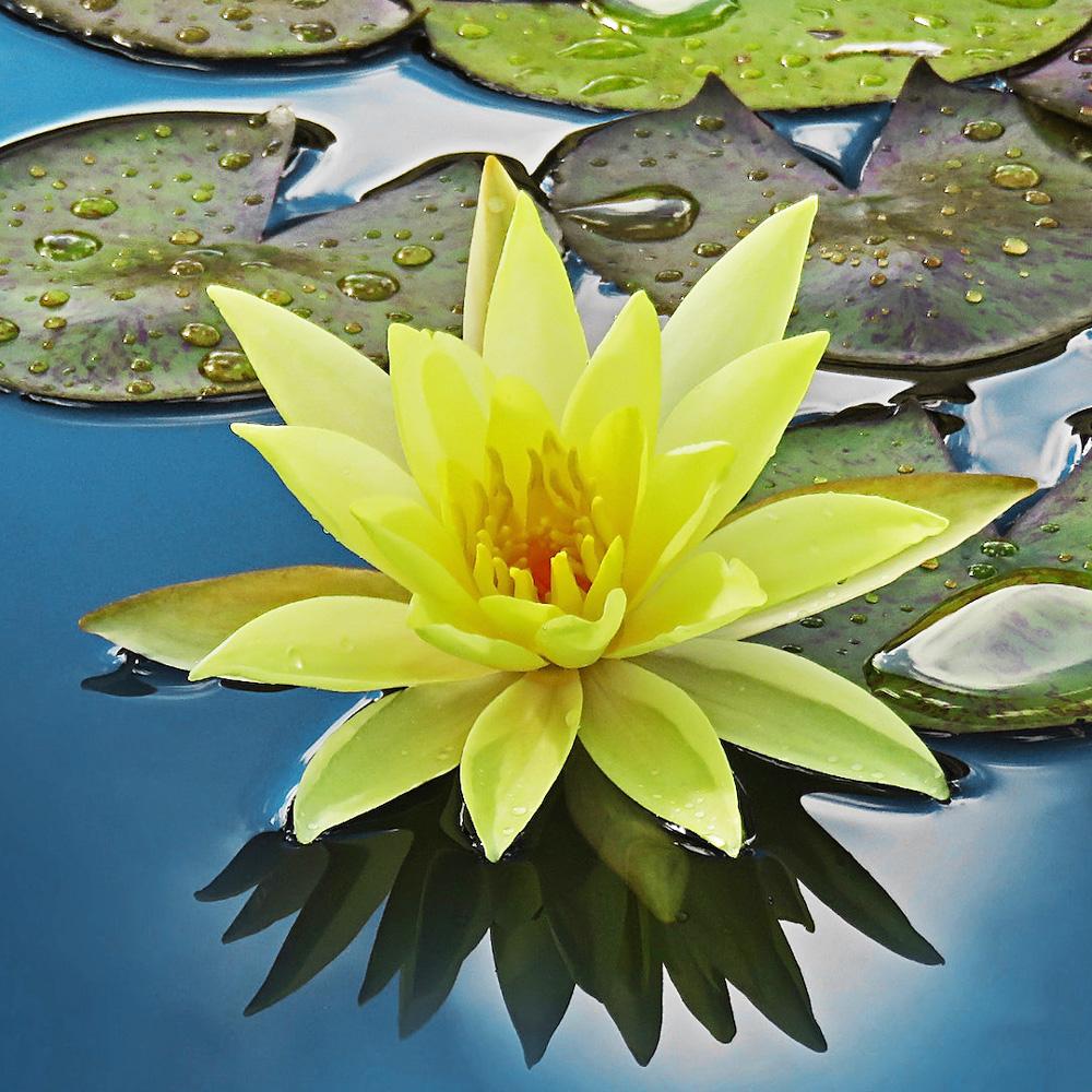 Teichpflanzen helfen den Teich zu reinigen