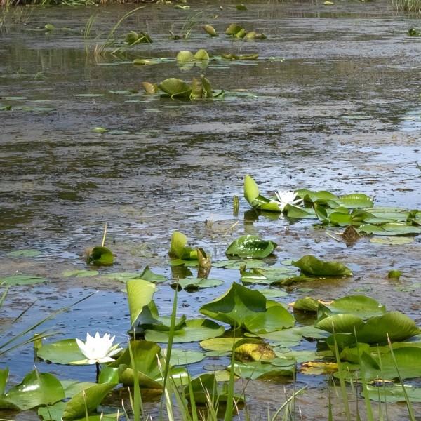algen-im-teich-entfernen-und-bekaempfen-01