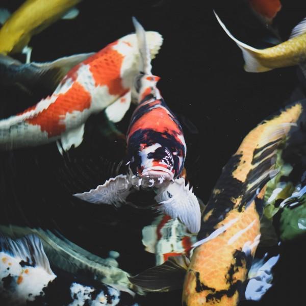 9-fischarten-fuer-ihren-fischteich